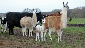 Llamas-and-cows-in-the-field
