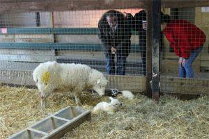 New-born-lambs